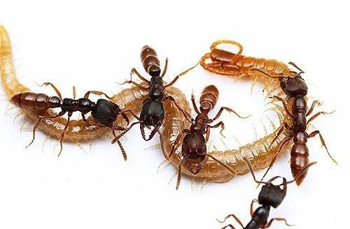 Что муравьи едят — чем питаются муравьи?