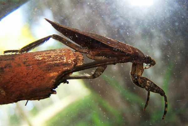 Ранатра палочковидная: внешний вид и образ жизни насекомого