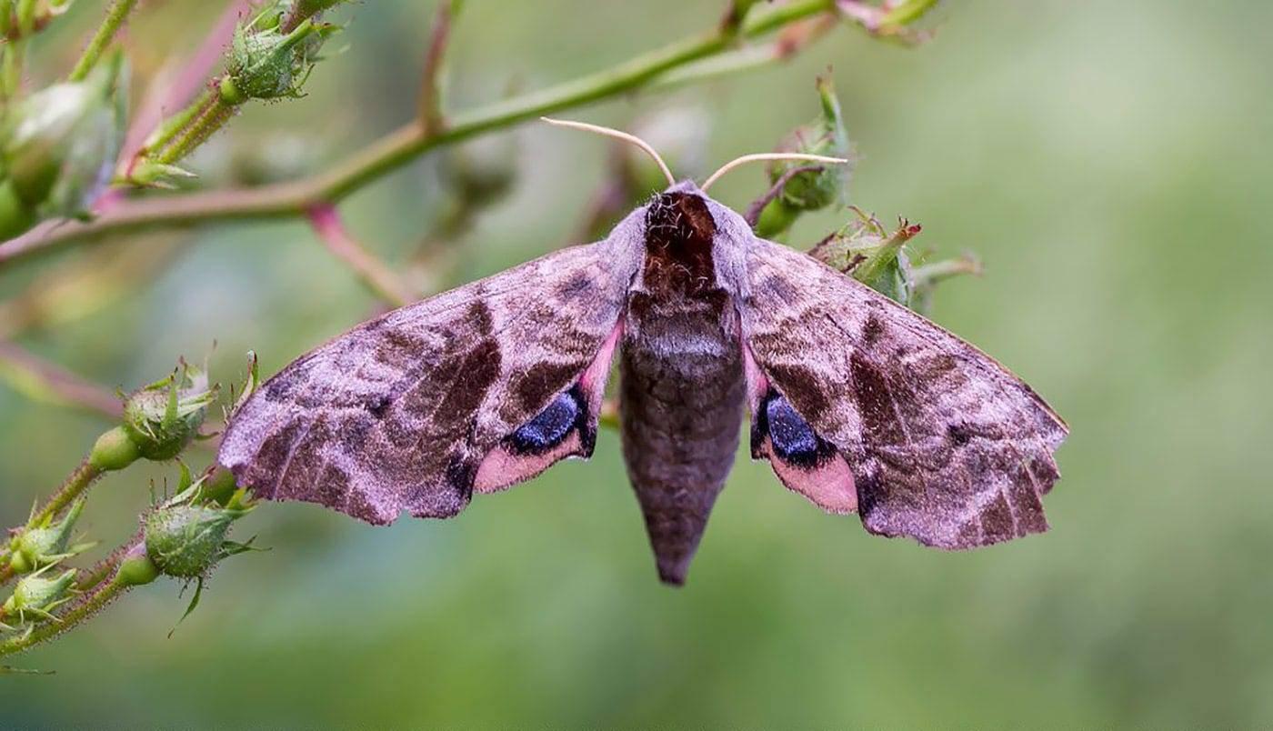 Бабочка бражник: описание семейства, виды, где обитают, чем питаются, интересные факты, фото