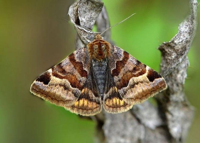 Бабочки пяденицы – вредители садовых, ягодных, декоративных культур. пяденица сосновая – вредитель хвойных лесов насекомые, повреждающие хвою