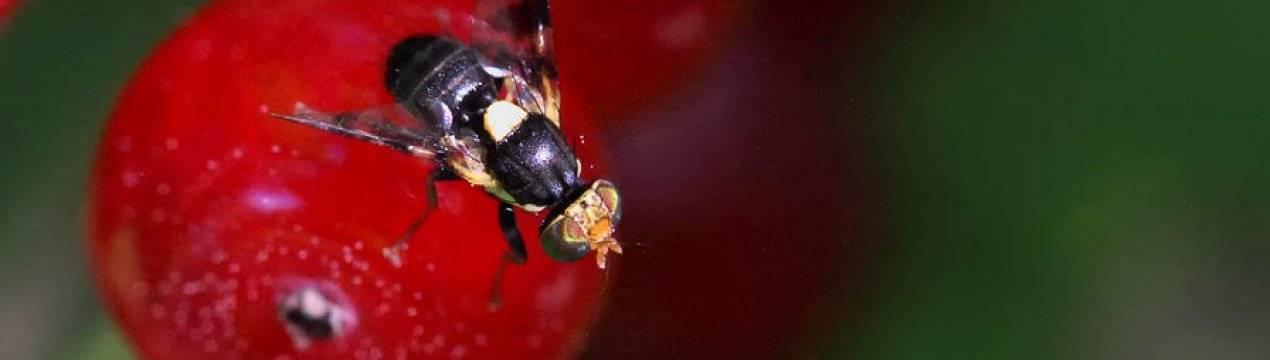 Борьба с вишневой мухой