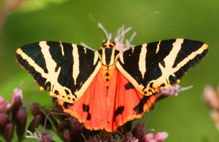 Что делать с яйцами медведицы бабочки. бабочка медведица госпожа – летнее чудо у ручья