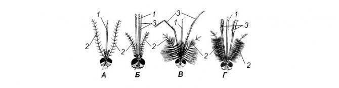 Озимая совка — северная саранча