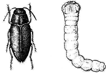 Жук короед в доме: борьба с упрямыми насекомыми-агрессорами