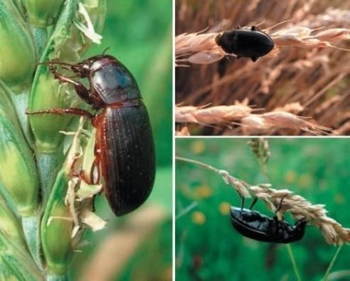 Шведская муха – серьёзная угроза для злаковых культур