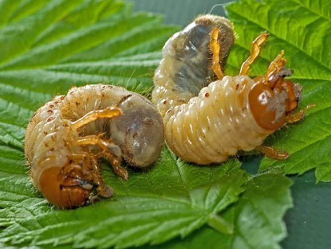 Методы и меры борьбы с личинками майского жука