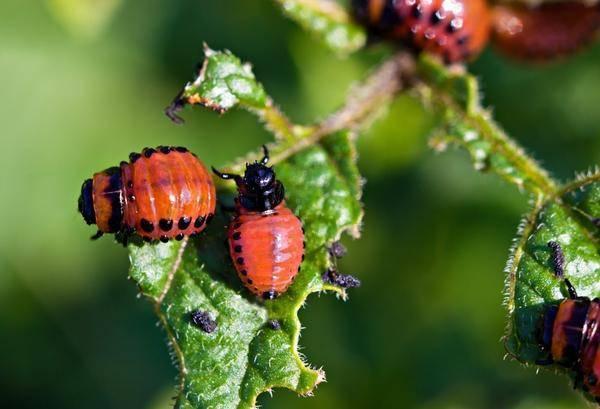 Народные и химические способы борьбы с колорадским жуком на помидорах