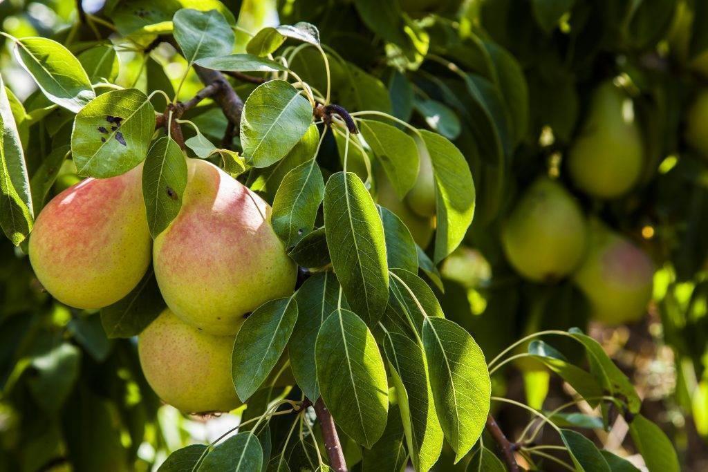 Как защитить плодовые деревья от вредителей весной