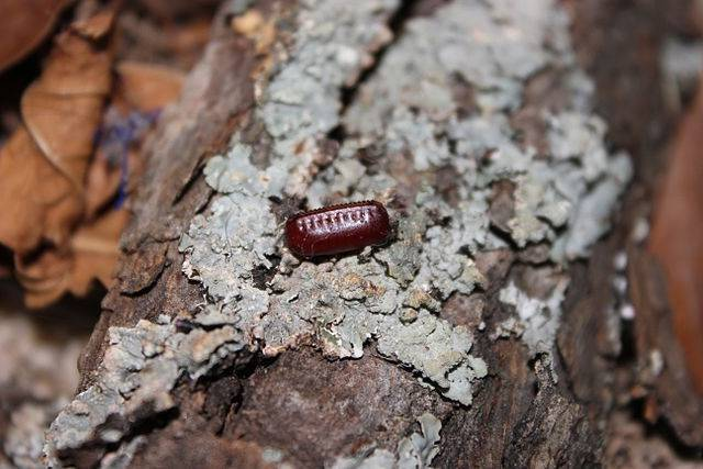 Мраморные тараканы (nauphoeta cinerea): описание и содержание