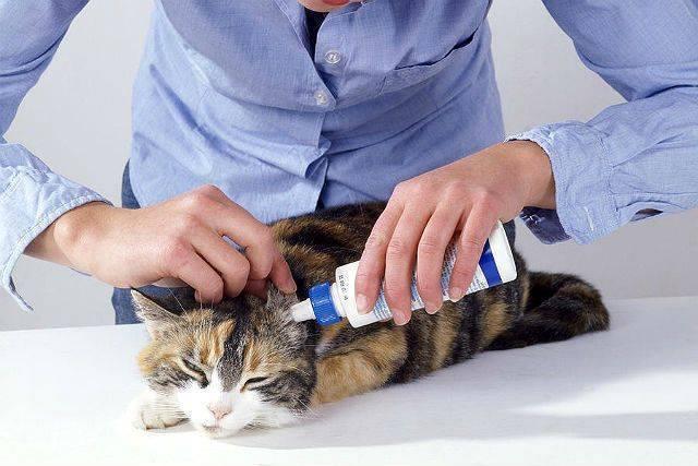 Ушной клещ у кошек: заражение, симптомы и особенности лечения