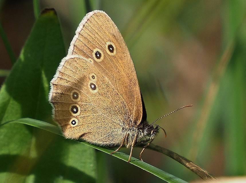 Эффективные и простые способы борьбы с белой американской бабочкой
