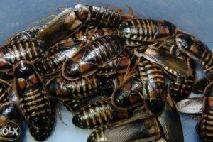 Недооцененный корм или кто ест тараканов?