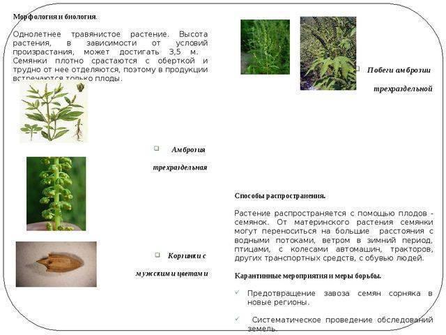 Листоед амброзиевый полосатый— враг инвазивных сорняков