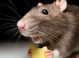 Как избавиться от мышей в погребе зимой народными средствами?