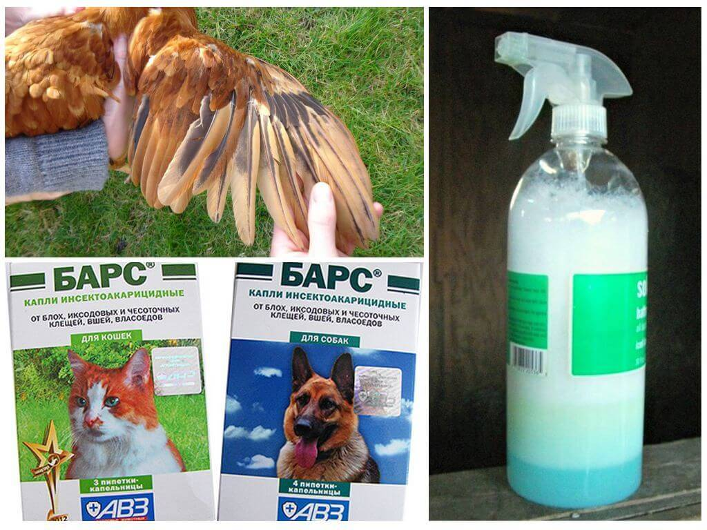 Куриные вши: как выглядят, чем опасны, как избавиться: ТОП-4 способа борьбы с ними