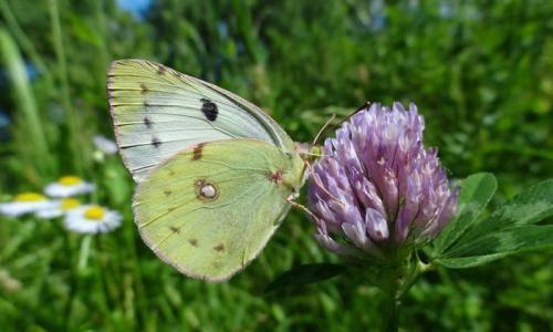Удивительный и эффективный способ отпугивания бабочки-капустницы
