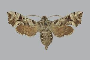 Самая большая бабочка в мире. бражник тополевый – ночная бабочка, которая не ест большие мотыльки
