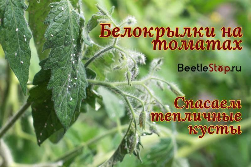 Как бороться с белокрылкой на рассаде помидоров: эффективные препараты и проверенные народные средства