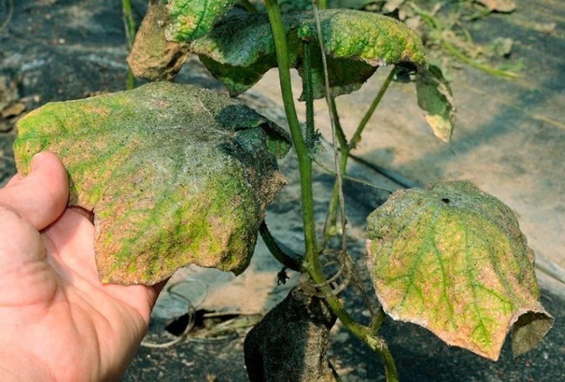 Как избавиться от тли на огурцах во время плодоношения: самые эффективные и безопасные способы!