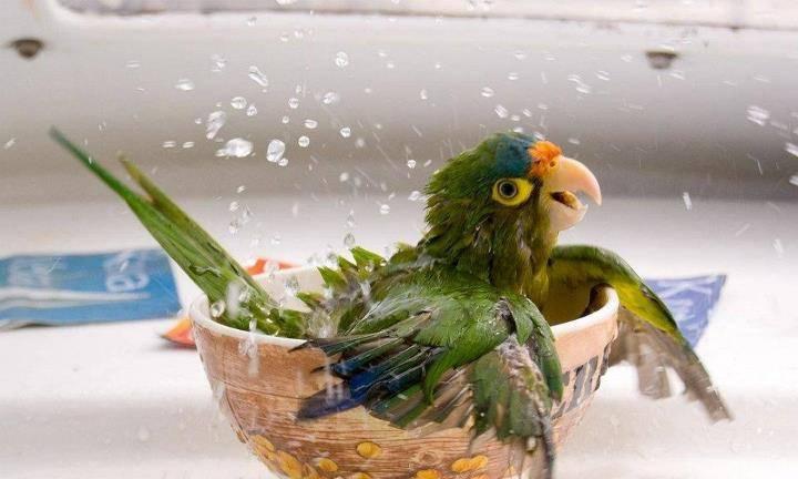 Почему у попугаев появляются блохи и как с ними бороться?