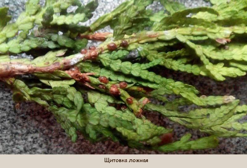 Как избавиться и средства борьбы от щитовки на комнатных растениях