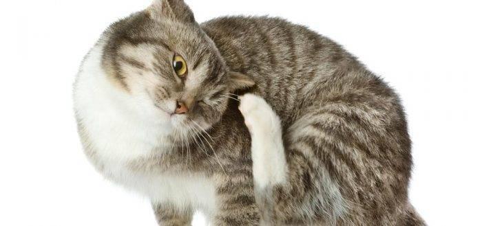 Отодектоз: как спасти кошачьи уши
