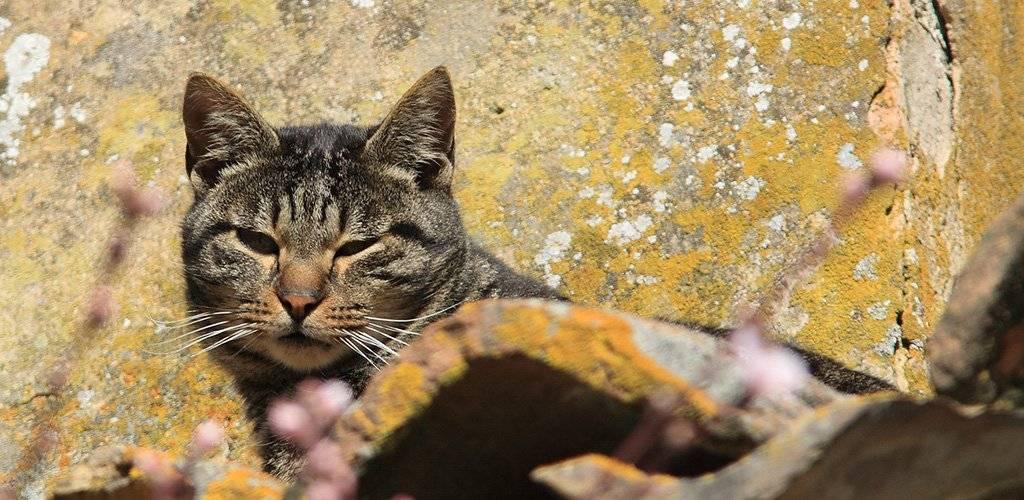 Ушной клещ у кошек: лечение в домашних условиях