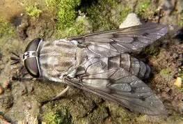 Шершень дыбовского: описание насекомого