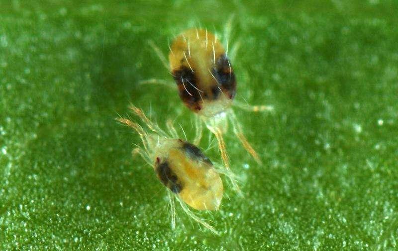 Обработка теплицы от паутинного клеща