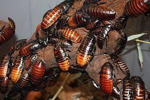 Как выглядят тараканы, их фото, виды и описание