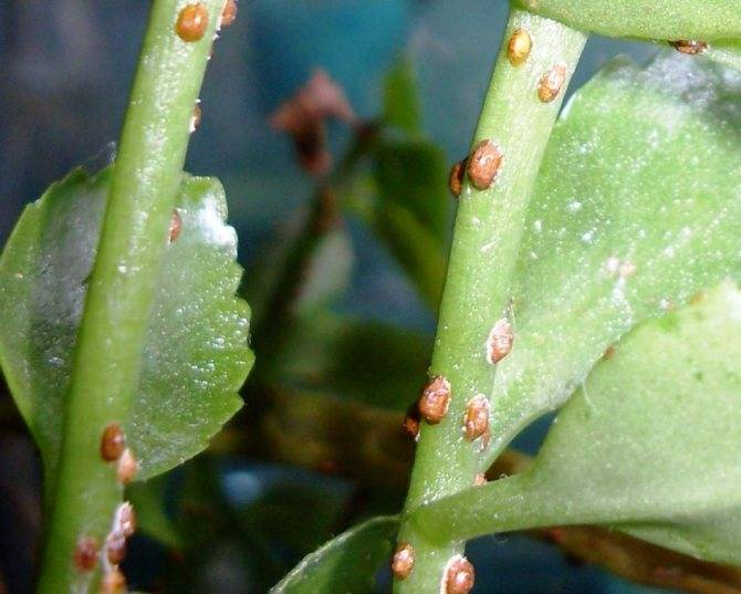Щитовка на растениях – как распознать и эффективно бороться с вредителем