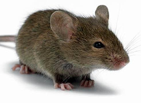 Приманка для мышей в мышеловку