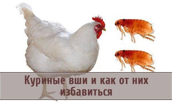 Насколько опасны клопы и блохи у кур и как избавиться от кровопийц?