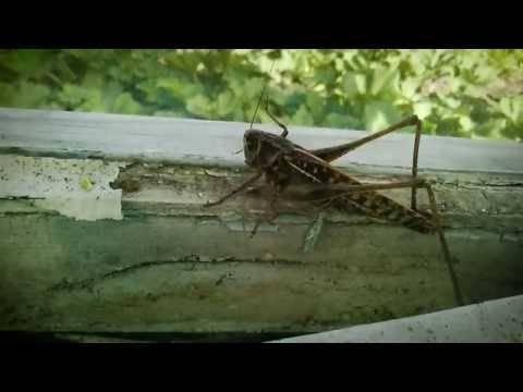 Насекомое саранча: внешний вид, виды, способ размножения, питание