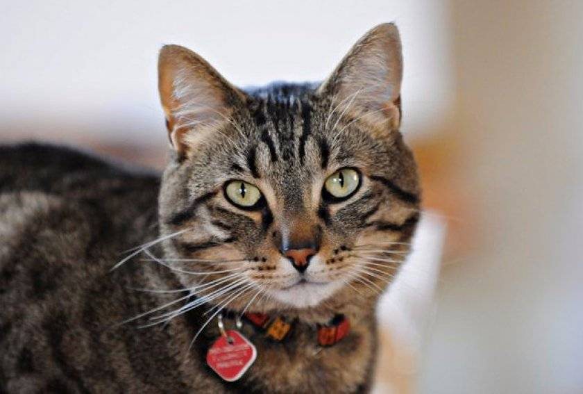 Как выглядят блохи у кошек, симптомы и лечение