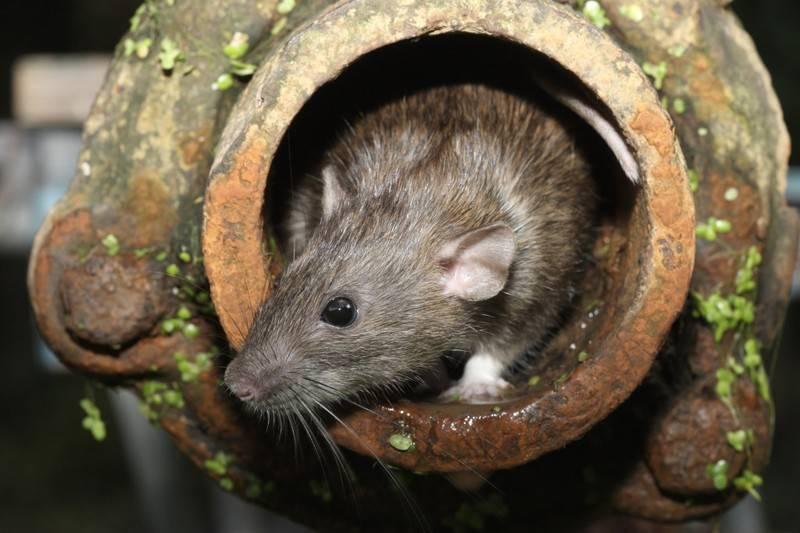 Причины появления крыс в доме, что необходимо сделать для их уничтожения