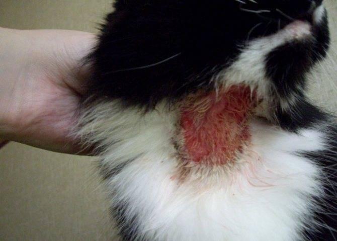 Капли от блох: почему кошка чешется и как устранить зуд