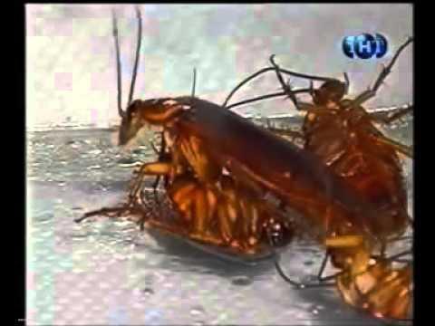 Чёрные тараканы в квартире — откуда пришли и как от них избавиться