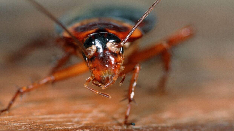 Большой черный крымский таракан — страшен как нашествие чумы