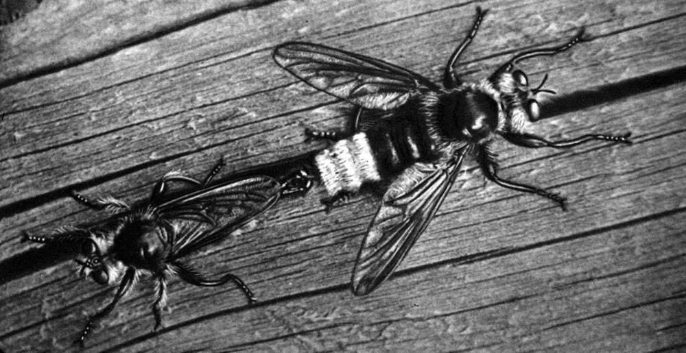 Какими бывают мухи: обзор назойливых насекомых от цеце до журчалки. муха-журчалка, притворяющаяся осой образ жизни, питание, размножение