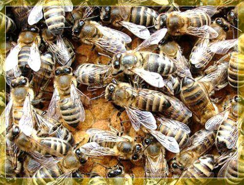 Породы пчел и отличительная характеристика разных видов пчел
