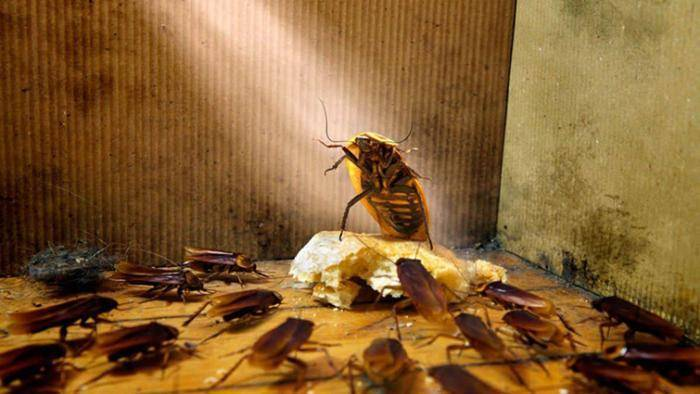От соседей ползут тараканы: практический алгоритм действий при напасти