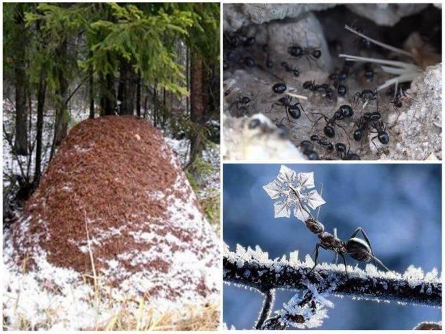 Как зимуют садовые муравьи — как муравьи готовятся к зиме?