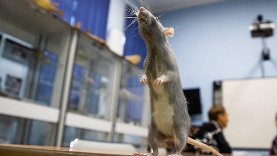 Как долго экскременты мышей могут быть опасны. чем можно заразиться от мышей и крыс? болезни, передающиеся человеку от грызунов. правила уничтожения грызунов при помощи мышеловок и крысоловок