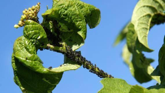 Калина: выращивание, размножение, вредители и болезни