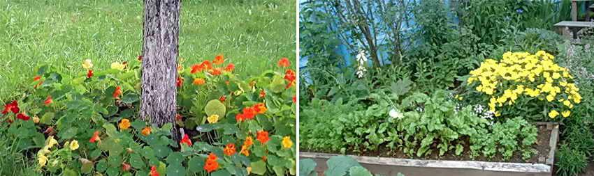 Растения отпугивающие комаров и мошек
