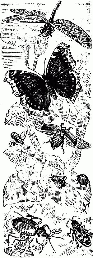 Бабочка зорька (аврора): как выглядит, описание вида и фото