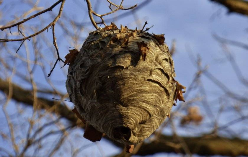 Когда просыпаются осы весной. где зимуют осы, спят ли насекомые в холодный период года? рождение и устройство гнезда