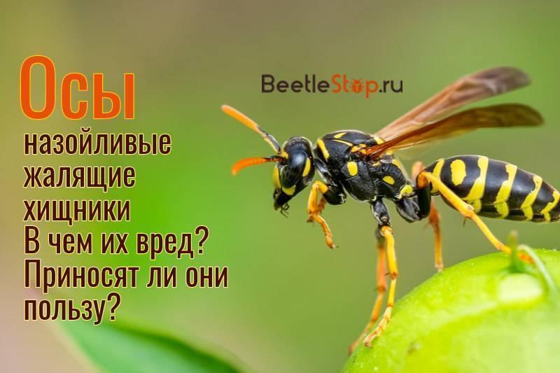 Для чего нужны осы в природе: ответы энтомологов