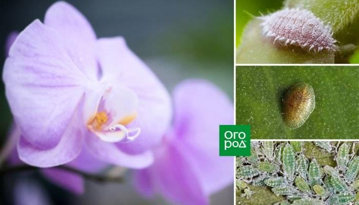 Тля на орхидеях как бороться в домашних условиях